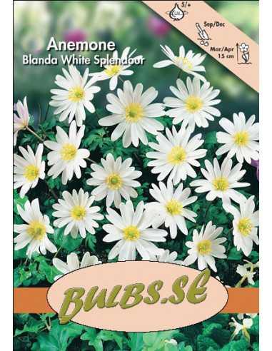 Vit balkansippa White Splendour - Anemon