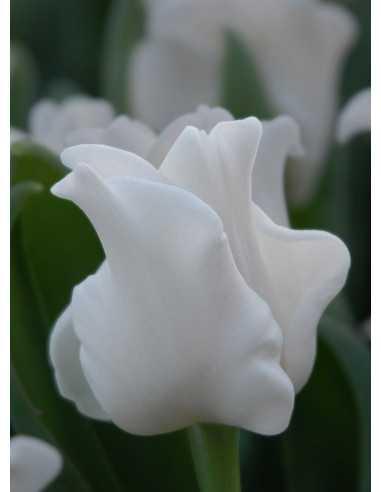 White Liberstar - Tulpan Triumph