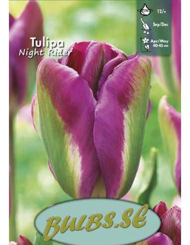Nightrider - Tulpan Viridiflora