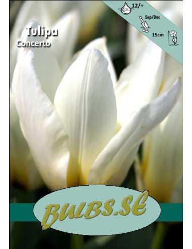 Concerto Kejsartulpan - Tulpan Botanisk