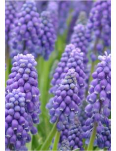 Armenisk Pärlhyacint