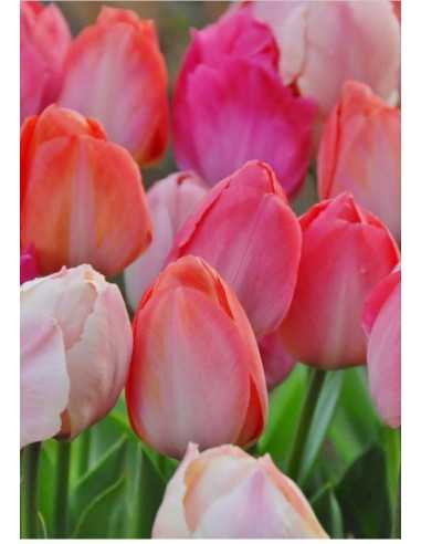 Garden Party - Tulpan Darwin - Blandning
