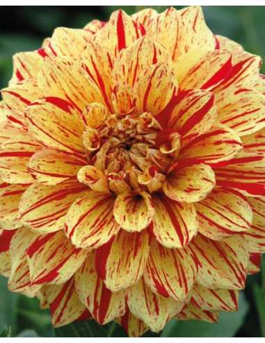 Gloriosa - Dahlia Dekorativ