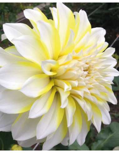 Hollyhill Lemon Ice - Dahlia Dekorativ