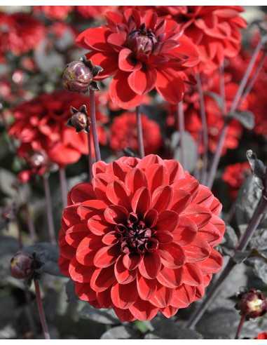 Pacific Rood - Dahlia Dekorativ