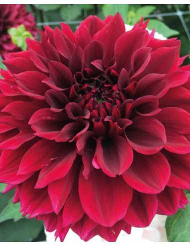 Painted Black - Dahlia Boll