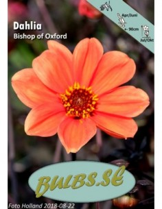 Bishop of Oxford - Dahlia...