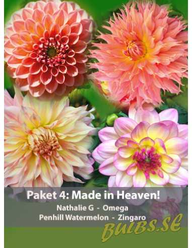 Paket 4: Made in Heaven - 4 st Dahlior
