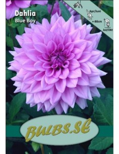 Blue Boy - Dahlia Dekorativ