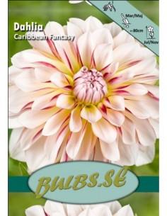 Caribbean Fantasy® - Dahlia...