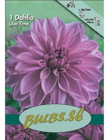 Lilac Time - Dahlia Dekorativ