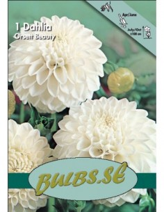 Orsett Beauty - Dahlia Boll