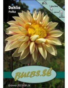 Polka - Dahlia Anemon