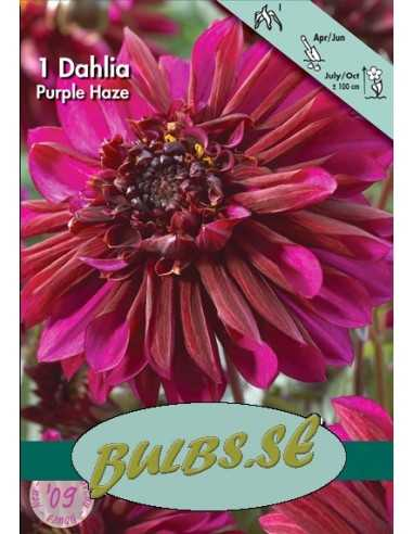 Purple Haze - Dahlia Anemon