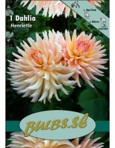 Henriette - Dahlia Kaktus