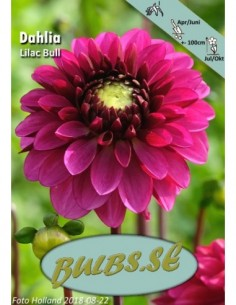 Lilac Ball - Dahlia Boll