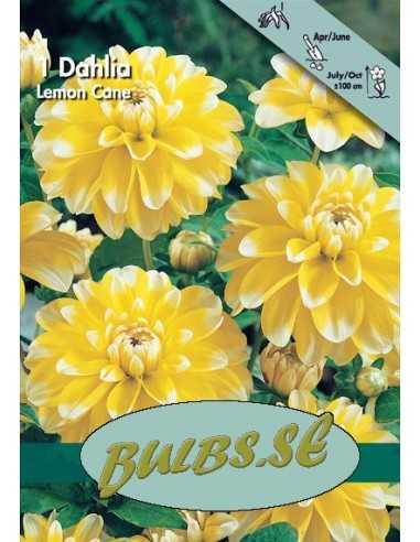 Lemon Cane - Dahlia Dekorativ