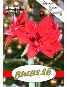 Double King - Amaryllis Dubbel