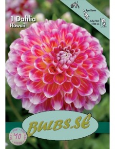 Hawaii - Dahlia Boll