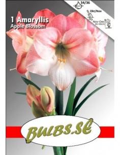 Apple Blossom - Amaryllis...