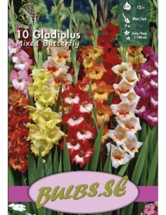 Butterfly - Gladiolus