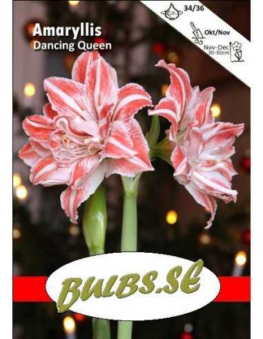Dancing Queen - Amaryllis Dubbel