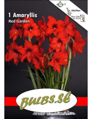 Red Garden - Amaryllis Kolibri