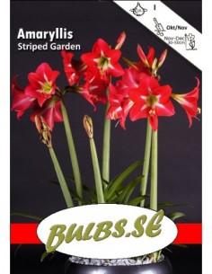 Striped Garden - Amaryllis...