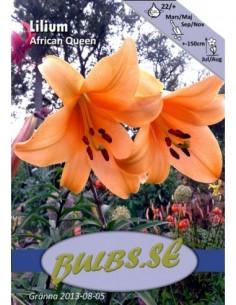 African Queen - Trumpetlilja