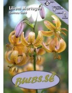 Guinea Gold - Krollilja