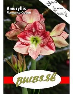 Flamenco Queen - Amaryllis...