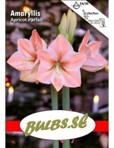Apricot Parfait - Amaryllis...