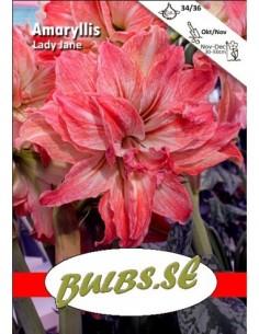 Lady Jane - Amaryllis Dubbel
