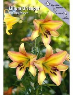 Rising Moon - Trädlilja