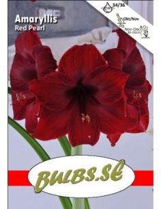 Red Pearl - Amaryllis Enkel