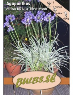 Agapanthus Silver Moon -...