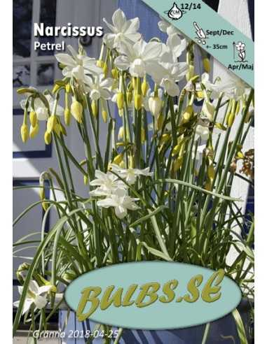Petrel - Orkidénarciss