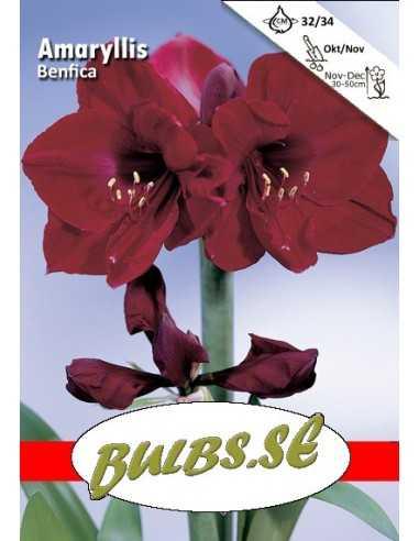 Benfica - Amaryllis Enkel
