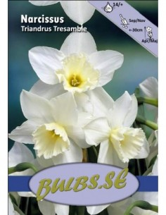 Triandrus Tresamble