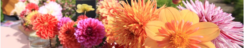 Köp Dahlia av hög kvalitet | Bulbs.se - Lökar och knölar