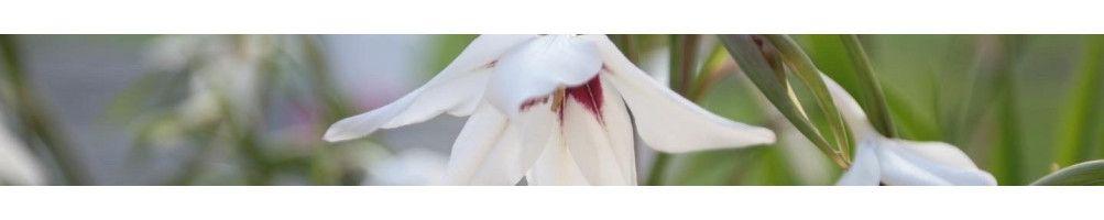 Köp gladiolus | Bulbs.se - Lökar och knölar