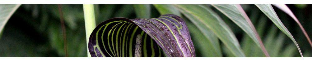 Kalla Zantedeschia rehmannii | Bulbs.se - lökar och knölar