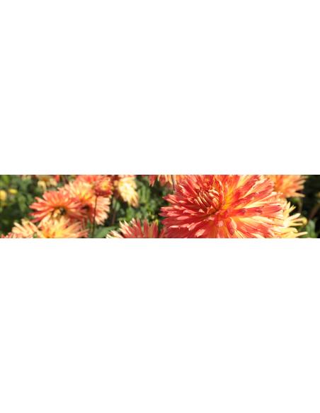 Kaktus & Semikaktus