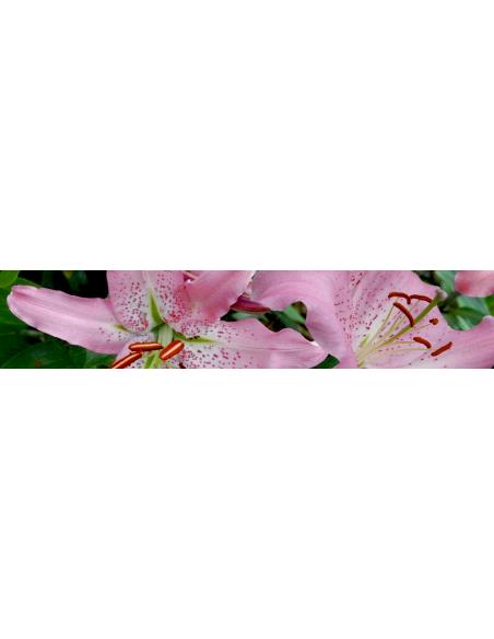 Orientalisk lilja