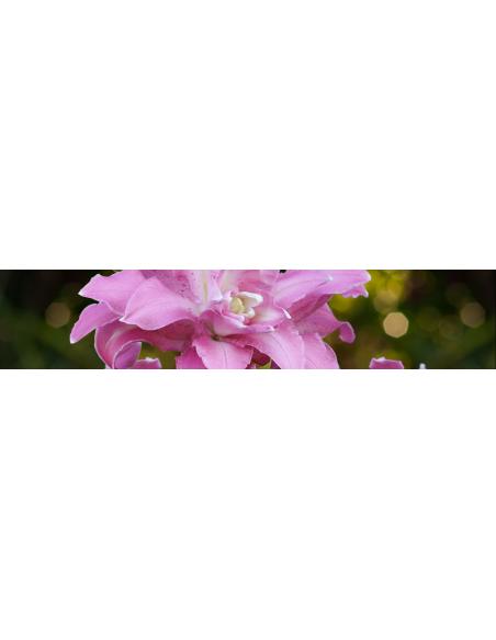 Lotuslilja