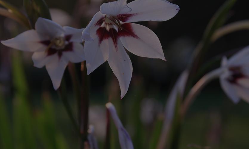 Bild på blommor - Välkommen till bulbs.se